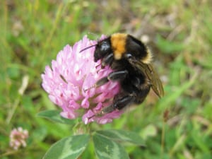 Short haired bumblebees from Sweden have been reintroduced to the UK