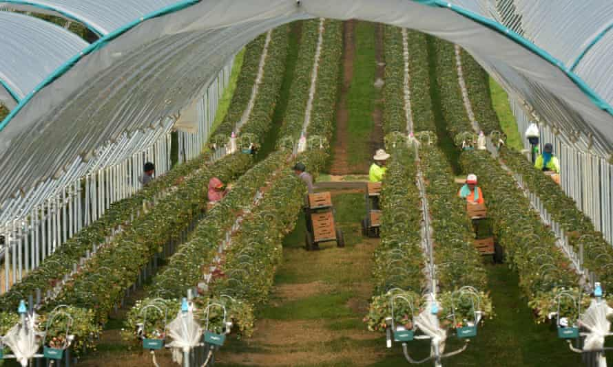 Workers picking raspberries at a farm in Tasmania. The government says it may allow Pacific labourers to travel to Australia under the 'travel bubble' scheme as it re-allocates $280m in foreign aid.