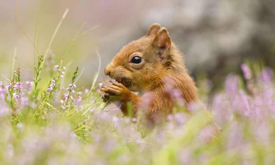 Around £1.2m is spent each year trying to protect red squirrels in the UK.
