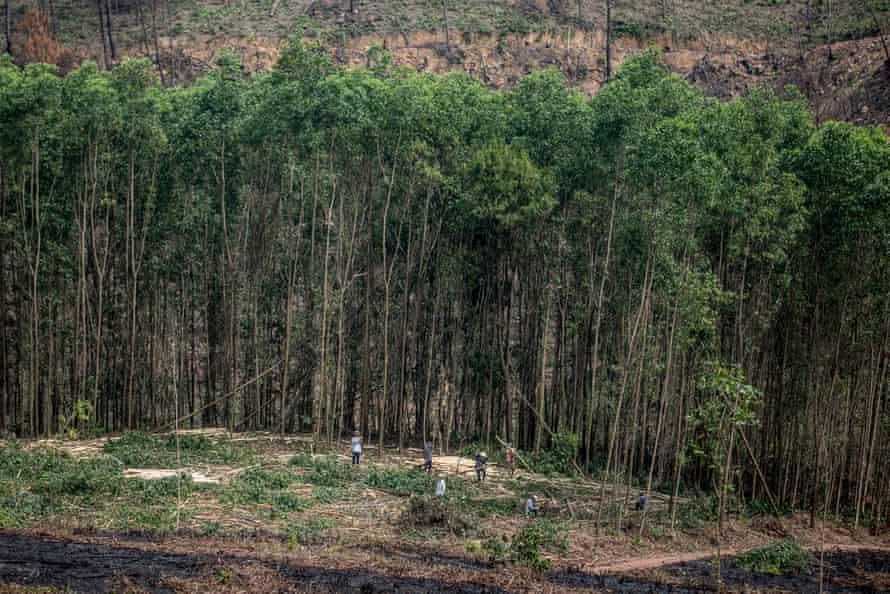 Acacia harvesting taking place on a non-FSC plantation outside Huế, Vietnam.