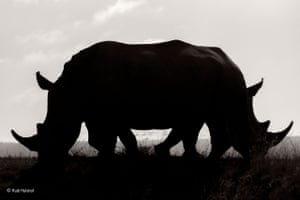 Confusion by Rudi Hulshof (South Africa) Rudi wanted to capture the uncertain future of the southern white rhino in the Welgevonden game reserve, South Africa, due to poaching. He anticipated the moment when these two rhinos would walk past each other, creating this silhouette effect and the illusion of a two-headed rhino.