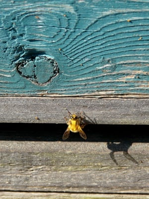 'A pollen laden bee entering the hive. My wife's niece keeps a hive on North Uist and this photo was taken on a summers day this year.'