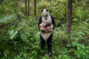 Pandas Gone Wild by Ami VitaleWorld press photo awards: nature category, second prize, storiesAt the Hetaoping research and conservation centre in China's Wolong reserve, captive-bred giant pandas are raised with the hope of one day reintroducing them to the wild. To prevent young pandas from imprinting on and becoming attached to their human caregivers, the centre's staff wear costumes that mimic the animals' black and white pattern.