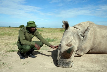 One of the two northern white rhinos that will be the last of their species, featured in Extinction: The Facts.