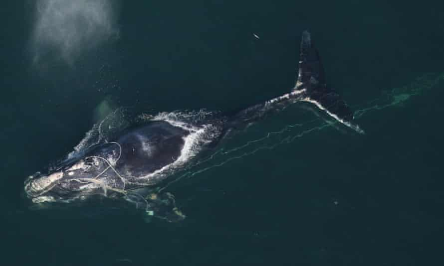 A North Atlantic right whale swims with a fishing net tangled around her head off the coast off Daytona Beach, Florida.