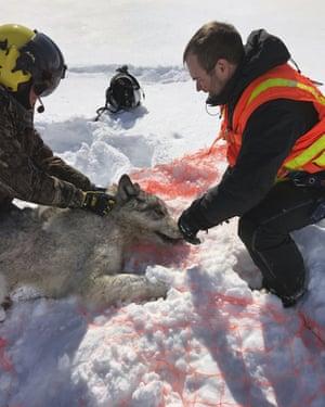 An Ontario wolf is captured at Michipicoten Island.