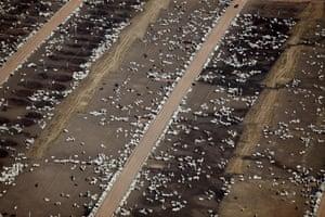 Cattle in the Brazilian Amazon.