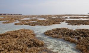 Bleached coral seen at low tide on Hudhuranfushi Island, North Male atoll. Bleaching events are becoming more frequent and severe due to sea temperature change.