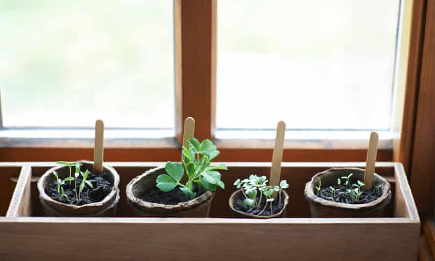 A selection of young plants and seedlings growing indoors in a window sill box