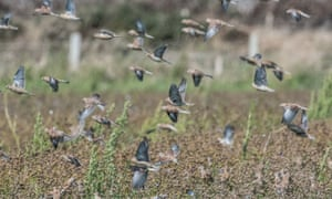 A flock of linnets feeds on linseed left after harvest at the Vile