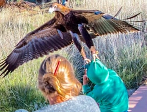 A wedge-tailed eagle at Alice Springs Desert Park, Australia, flies at a young boy and latches on to his head.