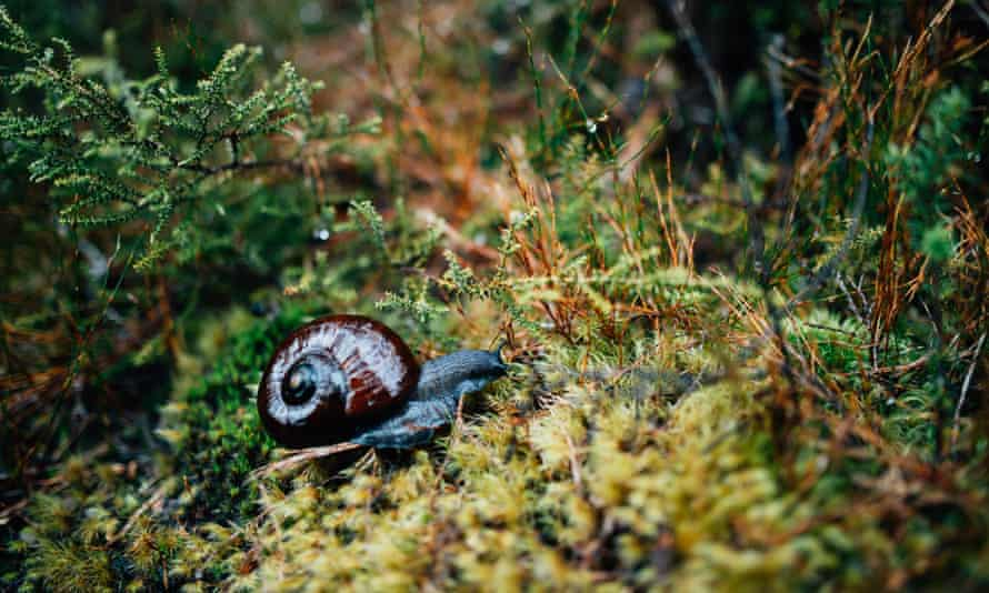 A giant land snail traverses some moss in New Zealand