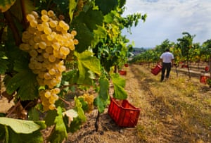 Harvesting grapes for prosecco in the Treviso district.