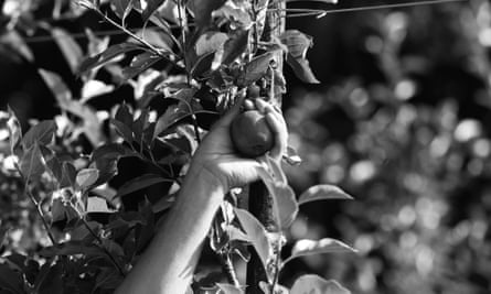 A fruit picker selects a royal gala apple from a tree.
