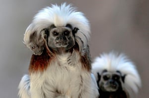 A cotton-top tamarin (saguinus oedipus) carries its cub, born in captivity at the Guadalajara zoo