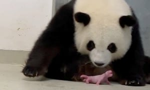 Meng Meng looks after one of her newborn twins at Berlin zoo on Saturday.