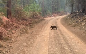 An orphaned bear cub crosses a mountain road affected by the Dixie fire in California, US.