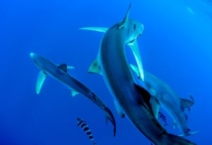 Blue sharks swim in the cool waters of the Azores, Atlantic ocean