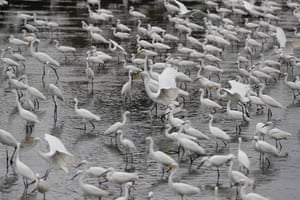 A flock of Egrets are seen at a swamp in Noveleta township, Cavite province, Philippines