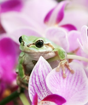 A green frog on a moth orchid at an agricultural research centre in Hwaseong, South Korea, a day before gyeongchip when, in the lunar calendar, frogs wake from hibernation.
