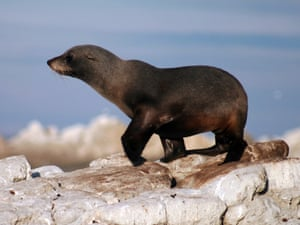 A New Zealand fur seal at the colony near Kaikoura, before the quake destroyed breeding grounds.