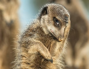 A meerkat appears to look like it's just remembered it needs to be somewhere, in Brigitta Moser's photo from Little Karoo, South Africa.
