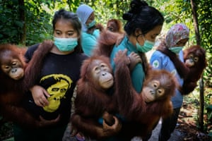 Saving Orangutans: Mother-substitutes carry orphaned orangutans to a forest school where they will teach them to climb trees, at SOCP quarantine centre