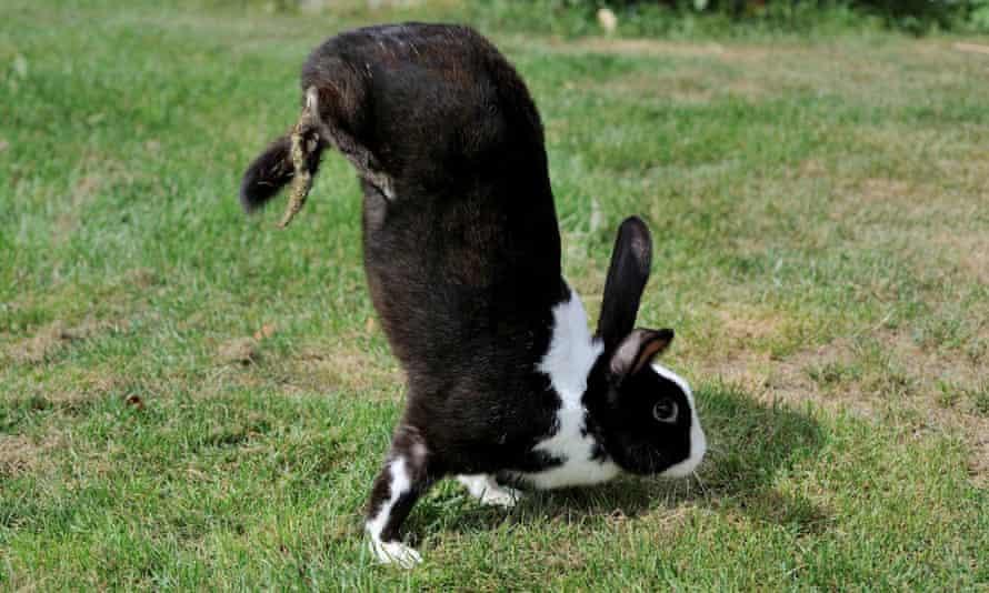 The sauteur d'Alfort rabbit stands on its front legs.