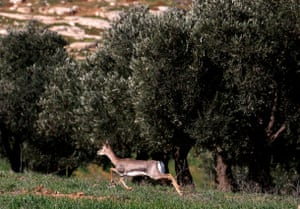 A deer runs past olive trees in a field on the outskirts of the occupied West Bank town of Hebron.
