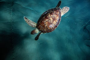 Loggerhead turtles (Caretta caretta) are released into the sea after being treated in Mugla, Turkey