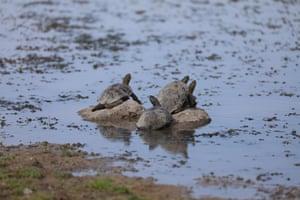 Turtles are seen near the shore of the Devegecidi Dam Lake in Diyarbakir, Turkey.