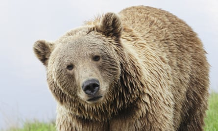 Brown bear of the type seen in the video footage.