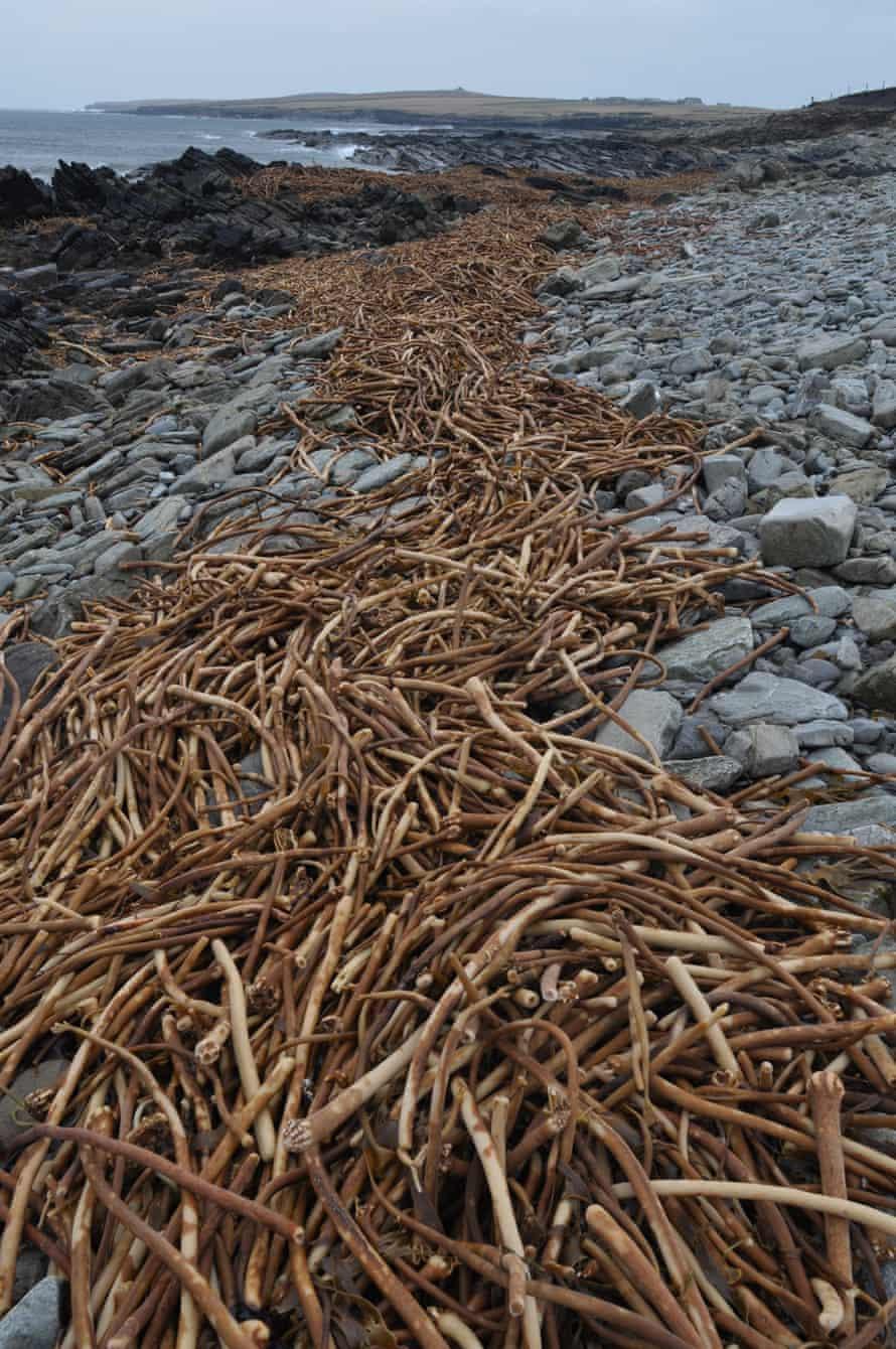 seaweed, orkney