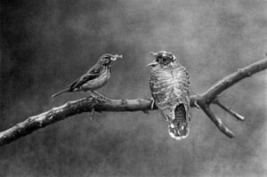 'Tree pipit feeding young cuckoo'
