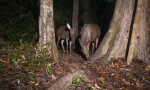 The sambar (Rusa unicolor) is a large deer native to Southeast Asia, and is on the IUCN Red List of threatened species.