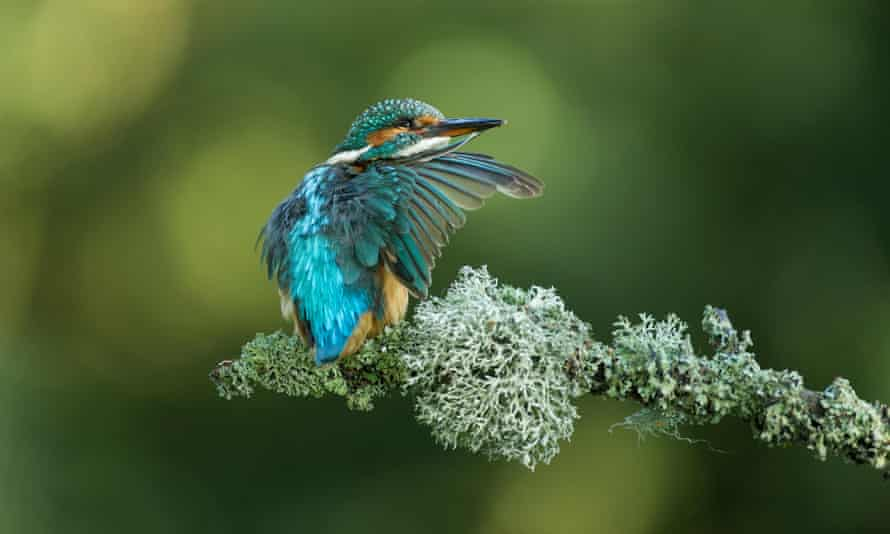 A kingfisher preening on a branch.