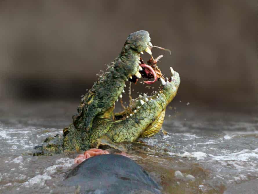A Nile crocodile eats a gnu in the Mara River, Kenya.