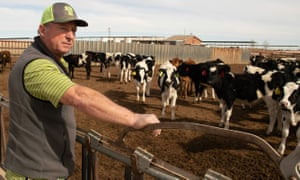 Art Schaap looks over some of his 4,000 dairy cows on his farm in Clovis, New Mexico.