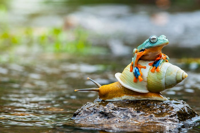 Jakarta, Indonesia ~ A frog enjoys life in the slow lane as he hitches a ride on a snail ~ Photograph: Andri Priyadi/Barcroft Media
