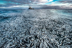 In the wake of a fishing boat, a slick of dead and dying herrings covers the surface of the sea off the coast of Norway.
