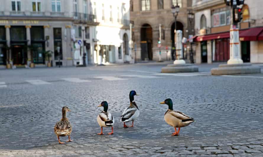 Why do ducks' heads not rock like pigeons do?