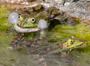A water frog in the botanical garden in Heidelberg, Germany