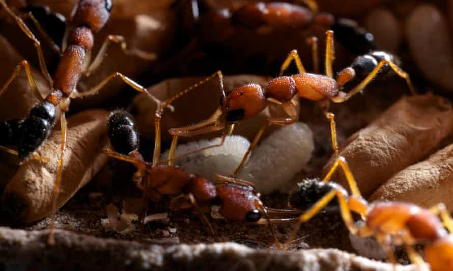 Jumping ant (Harpegnathos saltator) guarding pupae and larvae at the nest.