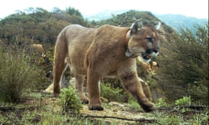 Residents have been warned to be watchful after sheriff's office said a mountain lion might be responsible for the death of a man in rural Texas.