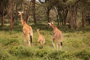 With the introduction of conservation projects, the giraffes have bounced back