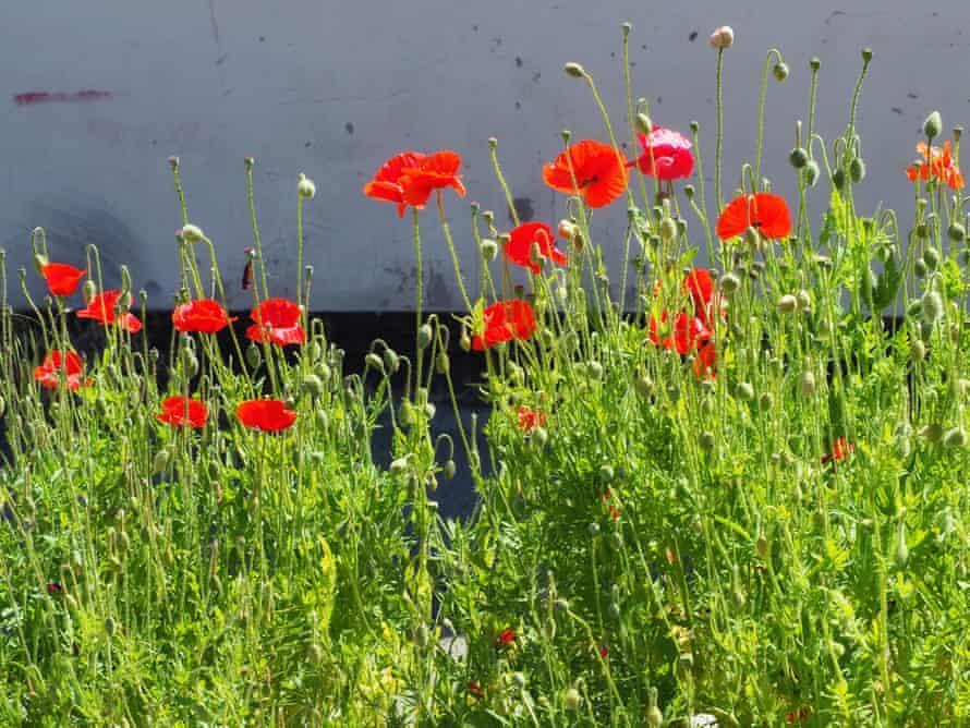 Poppies, Stoke-on-Trent.