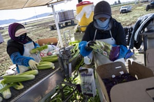 Agriculture workers in Oxnard wear face masks as they pack celery for shipping.