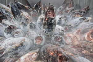 Frozen<strong> </strong>Albacore tuna stacked in a shipping container in Western Samoa, destined for a cannery in American Samoa, to be used for tinned tuna.<strong> </strong>