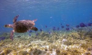 Turtle swimming at Tobago Cays.