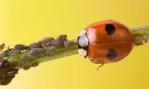 A two-spotted ladybird with greenfly